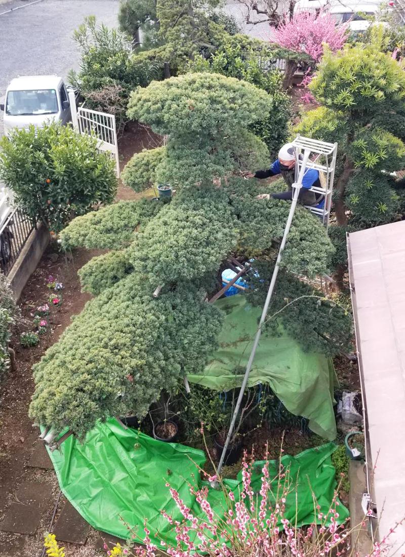 庭木・植木の剪定